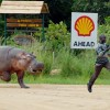 man-being-chased-by-hippo